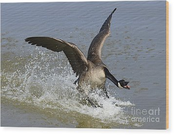 Canada Goose Touchdown Wood Print by Bob Christopher