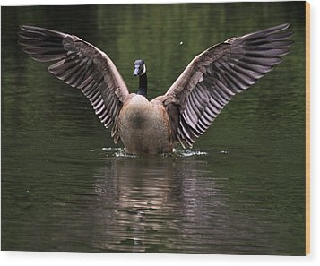 Canada Goose Wing Display - C3448d Wood Print by Paul Lyndon Phillips