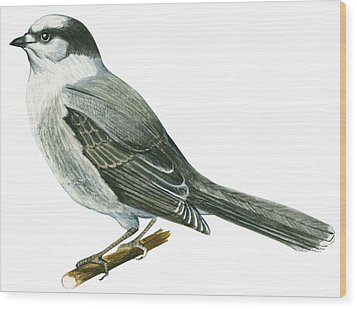 Canada Jay Wood Print by Anonymous