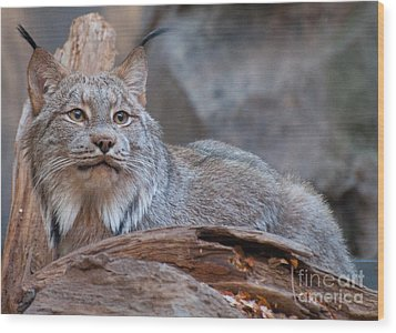 Wood Print featuring the photograph Canada Lynx by Bianca Nadeau