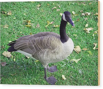 Canadian Goose Wood Print by Aimee L Maher Photography and Art Visit ALMGallerydotcom