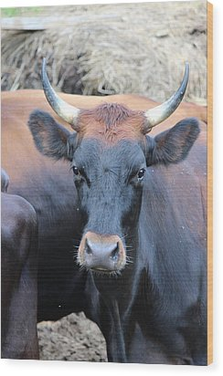 Canadienne Cow Wood Print