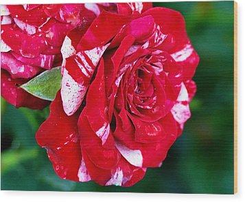 Candy Cane Rose Flower Wood Print by Johnson Moya