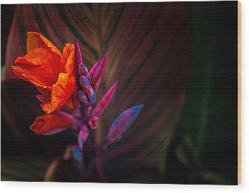 Canna Lilly At Freimann Square Wood Print by Gene Sherrill