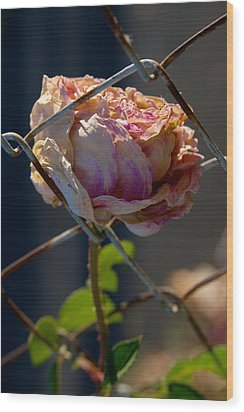 Wood Print featuring the photograph Can't Fence Me In - Faded Rose Art Print by Jane Eleanor Nicholas