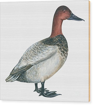 Canvasback Duck  Wood Print by Anonymous