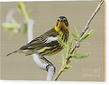 Cape May Warbler Wood Print by Larry Ricker