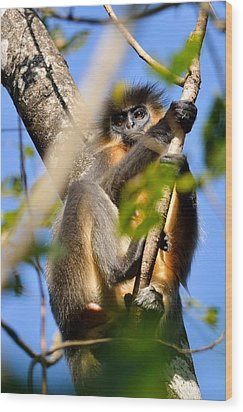 Capped Langur Wood Print by Fotosas Photography