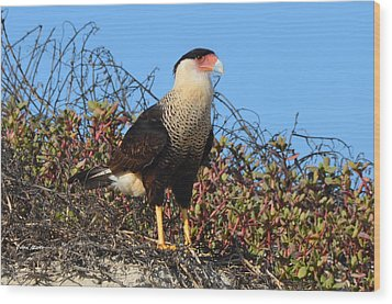 Wood Print featuring the photograph Caracara In The Dunes by Debra Martz