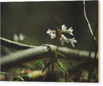 Cardamine Concatenata Cutleaf Toothwort Wood Print by Rebecca Sherman