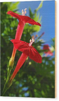 Cardinal Climber Flowers Wood Print by Christina Rollo