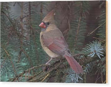 Cardinal In Spruce Wood Print by John Kunze