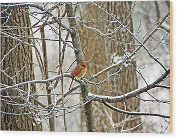 Cardinal In Winter Wood Print by Aimee L Maher Photography and Art Visit ALMGallerydotcom