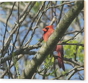 Cardinal  Wood Print by James Hammen