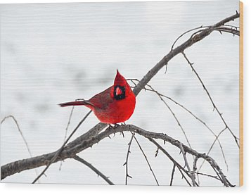 Cardinal On A Branch  Wood Print by Mary Carol Story