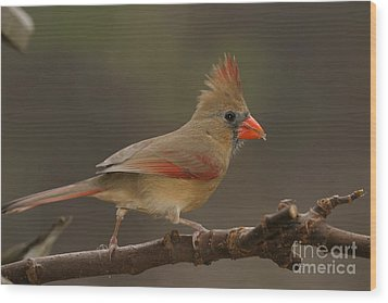 Cardinal Wood Print by Russell Christie