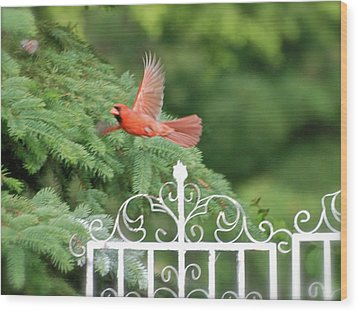 Wood Print featuring the photograph Cardinal Time To Soar by Thomas Woolworth