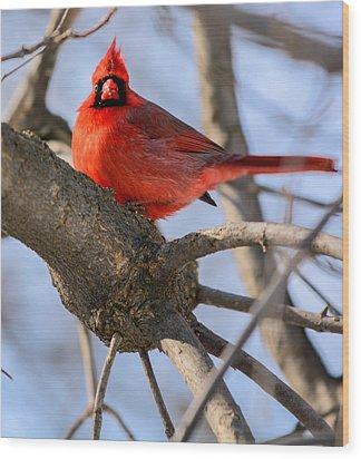 Cardinal Up Close Wood Print