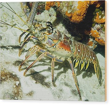 Wood Print featuring the photograph Caribbean Spiny Reef Lobster  by Amy McDaniel