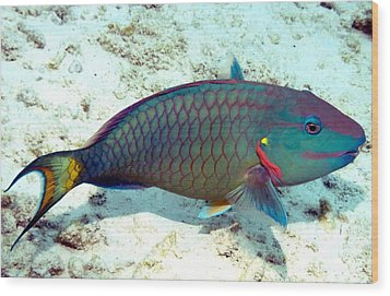 Caribbean Stoplight Parrot Fish In Rainbow Colors Wood Print by Amy McDaniel