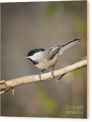 Carolina Chickadee  Wood Print by Kerri Farley