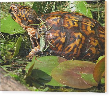 Carolina The Box Turtle In Pond Wood Print by Cleaster Cotton