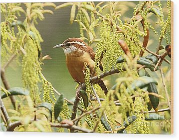 Carolina Wren Wood Print by Jennifer Zelik