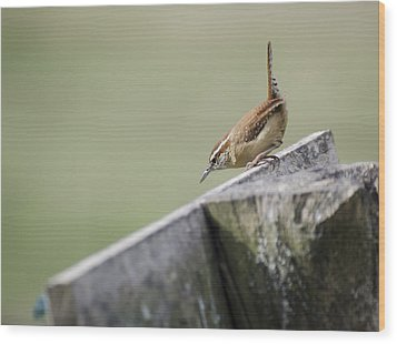 Carolina Wren Two Wood Print by Heather Applegate