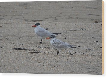 Wood Print featuring the photograph Caspian Tern Young And Adult by James Petersen