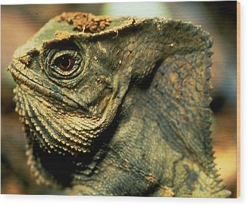 Casque-headed Iguana Wood Print