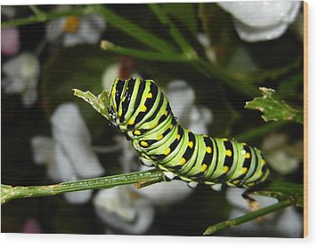 Wood Print featuring the photograph Caterpillar Camouflage by Bill Swartwout