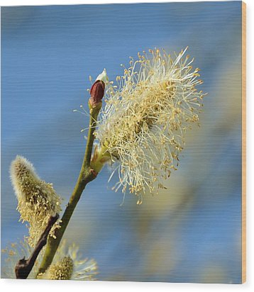 Catkin Flowering Wood Print by Gynt