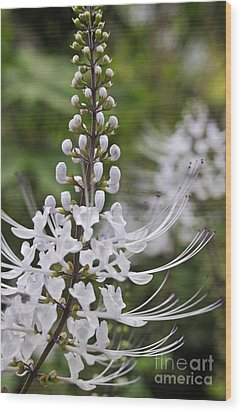 Cat's Whisker Flower In Garden Wood Print by Sami Sarkis