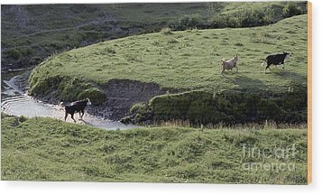 Cattle Running Wood Print by Andre Paquin