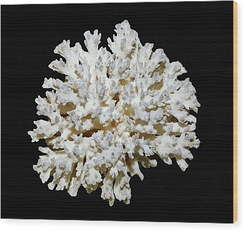 Cauliflower Coral (pocillopora Sp.) Wood Print by Dirk Wiersma