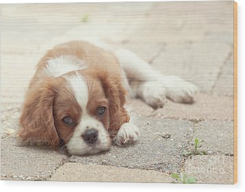 Cavalier Puppy Wood Print by Kay Pickens