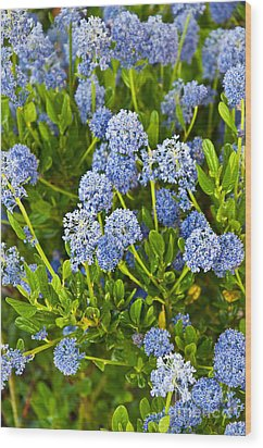 Ceanothus Impressus Santa Barbara Flowering Bush Wood Print by Valerie Garner