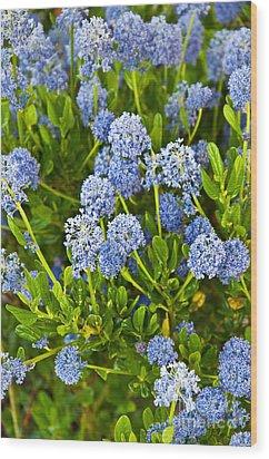 Ceanothus Impressus Santa Barbara Flowering Bush Wood Print