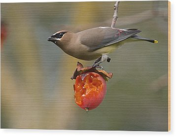 Cedar Waxwing Wood Print by Doug Herr