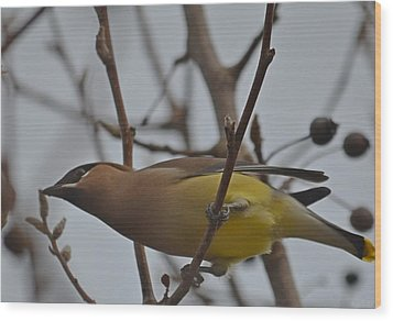 Wood Print featuring the photograph Cedar Waxwing Feasting In Foggy Cherry Tree by Jeff at JSJ Photography