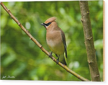 Cedar Waxwing Gathering Nesting Material Wood Print by Jeff Goulden