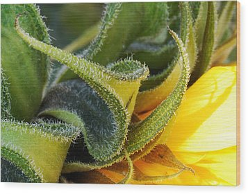Celebration Sunflower Wood Print by Wendy Wilton