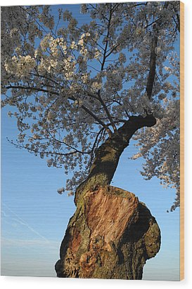 Wood Print featuring the photograph Century Old Sakura by Yue Wang