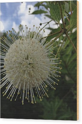 Cephalanthus Occidentalis The Button Bush  Wood Print