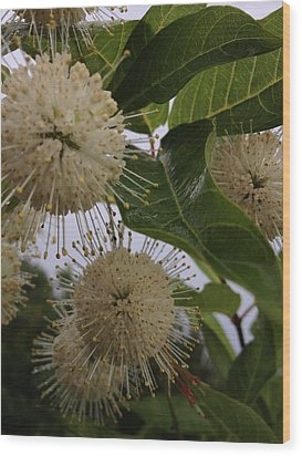 Cephalanthus Occidentals The Button Bush 2 Wood Print