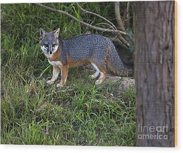 Channel Island Fox Wood Print by David Millenheft