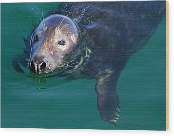 Chatham Harbor Seal Wood Print
