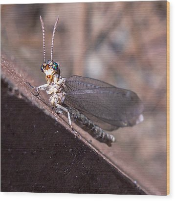 Chauliodes Wood Print by Rob Sellers
