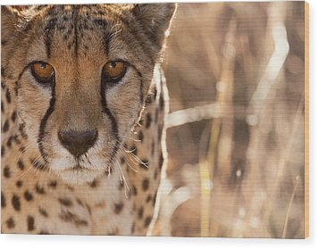Cheetah Conservation Fund, Namibia Wood Print by Janet Muir