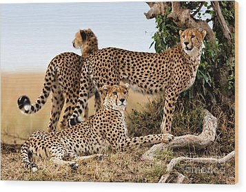 Cheetah Mother And Two Older Cubs In Masai Mara Wood Print by Maggy Meyer